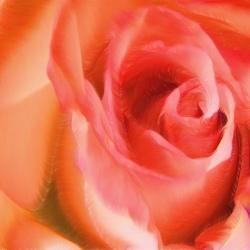 Velvet Rose_01