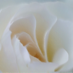 Velvet rose_03