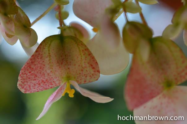 Begonias_of_the_Valkyries_400wm