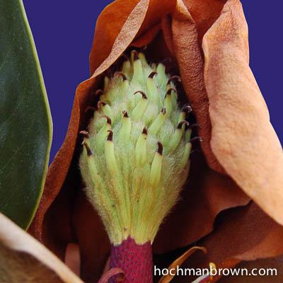 magnolia-pod-masked_400wm
