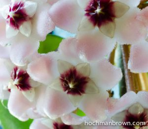 Hoya Bunch_400wm